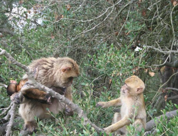 Gibraltar apen