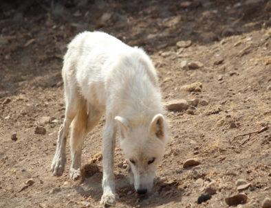 Wolvenpark Lobo