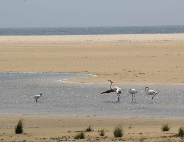 Lepelaar flamingo's Tarifa